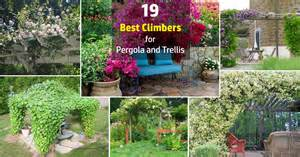 Good Climbing Plants For Pergolas by 19 Best Pergola Plants Climbing Plants For Pergolas And