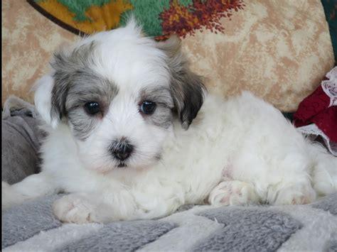 coton puppies available coton de tulear coton de tulear coton de tulear puppies available breeds picture