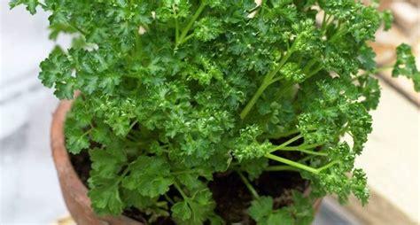 prezzemolo in vaso coltivazione prezzemolo aromatiche come coltivare il