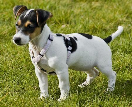 Rat Terrier Shedding by Rat Terrier Puppies Rat Terrier Breeders Rat Terriers For