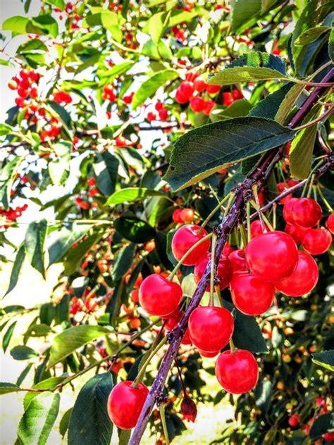 Cherry Season Door County by Door County Cherry Season Starts
