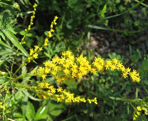 tangled web early goldenrod solidago juncea