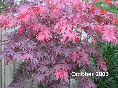 acer palmatum suminagashi