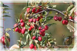 ornamental plum tree non edible fruits flickr photo