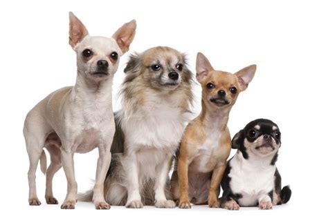 best indoor dogs top 10 best indoor dogs