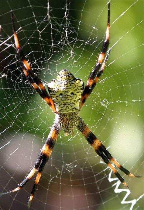 Garden Spider Behavior Garden Spider Spider Pest By Terminix