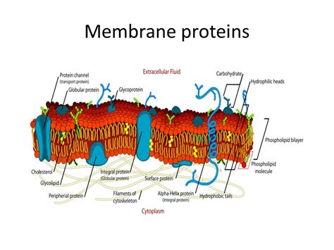 4 proteins in cell membrane membranes topic ppt