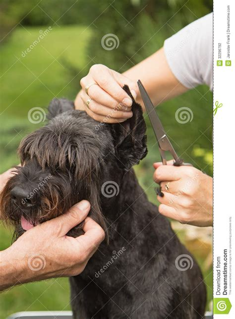 hair ears cut hair cutting hair on the dog s ears stock photography image