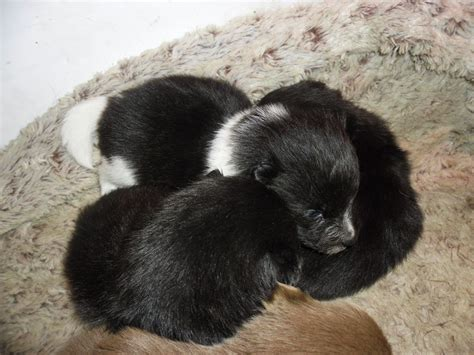german spitz puppies for sale german spitz klein pups for sale spalding lincolnshire pets4homes