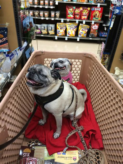 pug shopping let s go shopping the pug