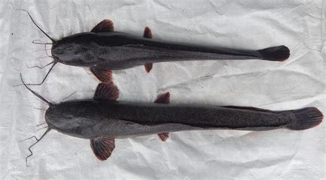 Per Kilo Benih Ikan Lele 5 jenis ikan lele yang bisa di budidayakan di indonesia
