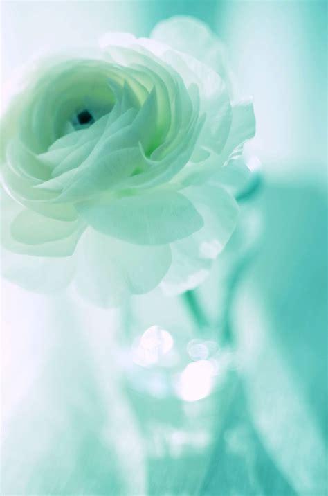 imagenes de flores turquesas resultado de imagen para rosas turquesas naturales verde