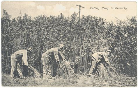 harvesting plantations in tarkeeth state from drill baby drill to grow hemp grow