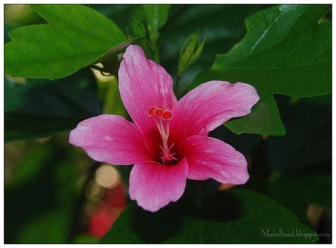 Biji Bunga Hibiscus my green eye s bunga raya hibiscus