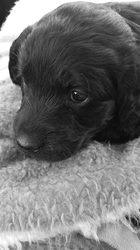 labradoodles puppies for sale kent last miniature labradoodle puppies ready now