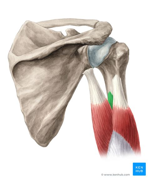 triceps brachii muscle origin insertion innervation
