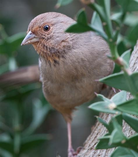 avian explorer 187 blog archive 187 california towhee