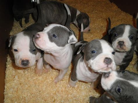 american terrier puppy american staffordshire pit bull terrier puppies pethelpful