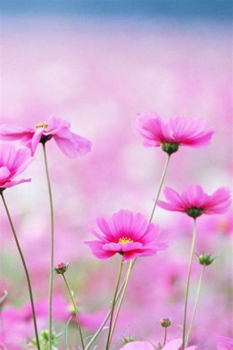 wallpaper flower for iphone pink spring flowers iphone wallpapers iphone 5 s 4 s 3g