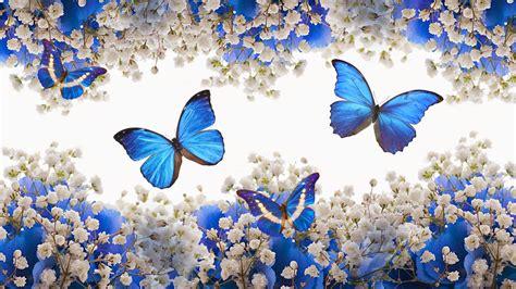 flores azules claras mariposa imagenes de archivo imagen 2050474 hermosas mariposas azules full hd en fondos 1080