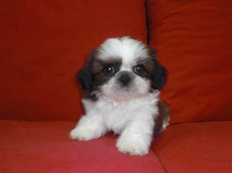 adopt a shih tzu pin shih tzu rescue illinois puppies for sale on