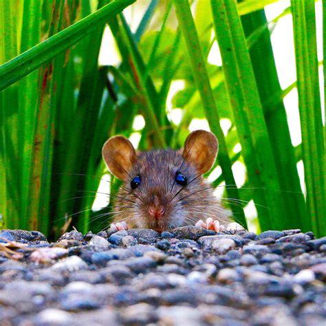 Ratten Im Garten Bekämpfen 2156 by Gartensch 228 Dlinge Vertreiben Und Bek 228 Mpfen Bei Westfalia