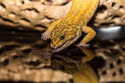 leopard gecko heat l le gecko l 233 opard ou eublepharis macularis animogen