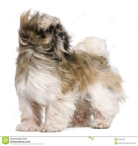 2 month shih tzu shih tzu puppy 4 months sitting in front of white