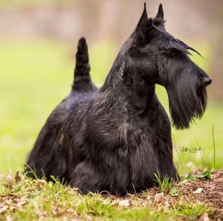different cuts for scotties on how to cut a scottish terrier scottish terrier