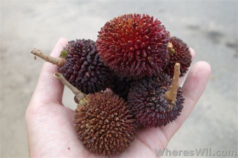 fruit similar to lychee fruit from around the pulasan