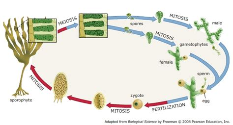 cycle of laminaria flowchart solved the cycle of laminaria a brown alga involve