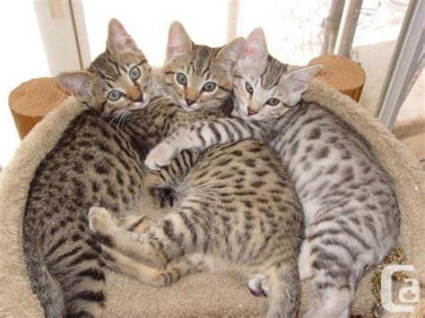 marvelous home trained kittens bengal kittens for sale in