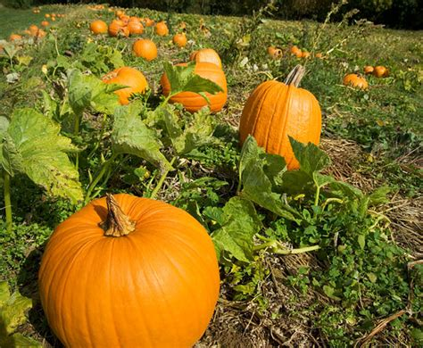 planting pumpkins for pumpkins planting growing and harvesting pumpkin plants