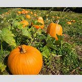 Pumpkins Growing   550 x 453 jpeg 254kB
