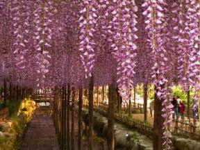 Wisteria In Japan by Spring In Japan Wonderful Wisteria Amp Billions Of