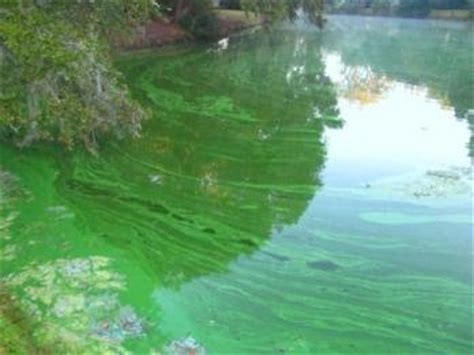 Blue Barns Poultry Beware Toxic Blue Green Algae Living The Country Life