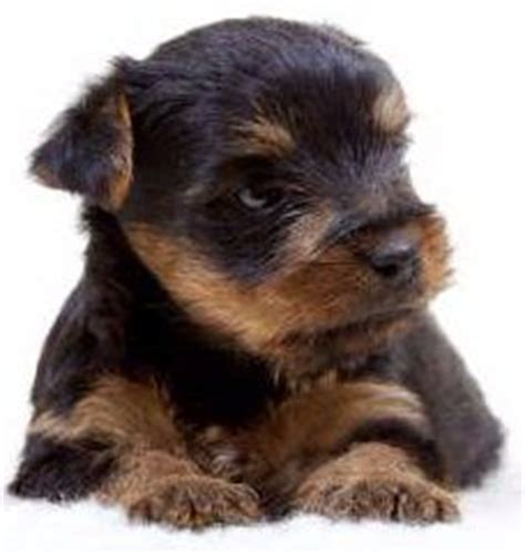 yorkie constipation newborn yorkies terrier information center