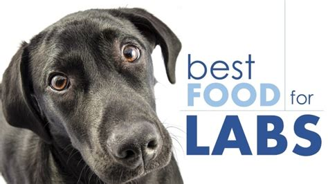best puppy food for labs best food for labradors help your lab stay lean herepup