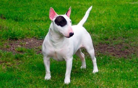 alimentazione bull terrier bull terrier inglese carattere e informazioni sulla razza