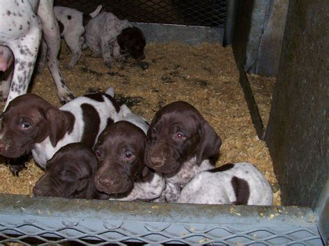 german shorthaired pointer puppies california palermo ranch kennels german shorthair pointers and labs breeders oroville ca