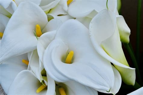 picture detail lily tropical white flower petal