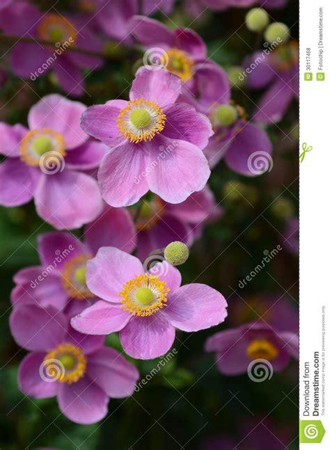 fiore colore viola japonica dell anemone in fiore fotografia stock immagine