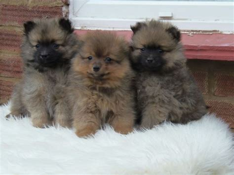 mini pomeranian breeders stunning miniature pomeranian puppies for sale pets dogs