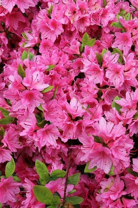 azalea bush colors 1000 ideas about azalea color on azalea bush