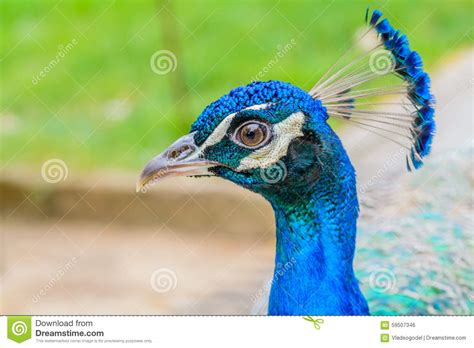 blue peacock images www pixshark com images galleries peacock head www pixshark com images galleries with a