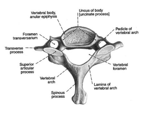 cervical vertebrae diagram back spine vertebral column kinesiology 244 with smith