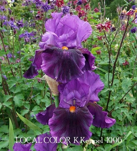 local color bearded iris quot local color quot heritage irises