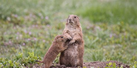prairie facts prairie basic facts about prairie dogs defenders of wildlife