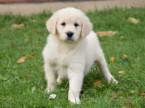 ebay golden retriever brandon golden retriever puppy for sale puppy