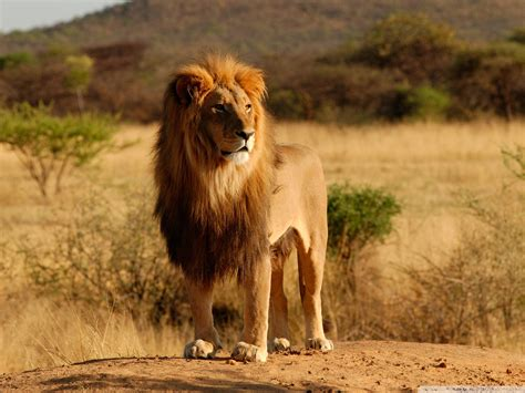 the lion and the the saddest sight of all is the pacing of the caged lion the ballestero blog